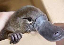 Universal Platypus